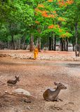 Monk doing daily cleaning routine at at the Tiger Temple in Kanchanaburi, Thailand. Royalty Free Stock Photo