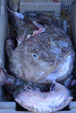 Monk fish Stock Images