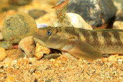 Monk goby Stock Photography