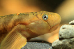 Monk goby Stock Image