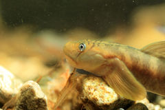 Monk goby Royalty Free Stock Images