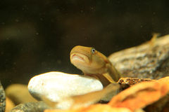 Monk goby Royalty Free Stock Photos