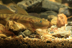 Monk goby Stock Images