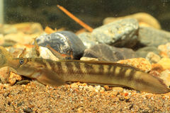 Monk goby Stock Photos