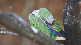 Monk Parakeet Cleaning Itself Stock Photo