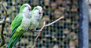 Monk Parakeet Couple. Monk Parakeet Myiopsitta Monachus Couple Perched on a Tree Branch. Also Known as The Quaker Parrot. Close Up Portrait - DCi 4K Resolution stock video
