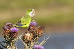 Monk parakeet feeding on thistle seed. A monk parakeet (myiopsitta monachus) perched on a flowered thistle with a seed in its beak Royalty Free Stock Images