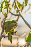 Monk Parakeet (Myiopsitta Monachus) Stock Photos
