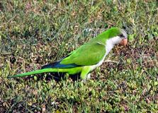 Monk Parakeet (Myiopsitta monachus) Royalty Free Stock Photo