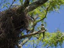 The monk parakeet (Myiopsitta monachus) Stock Photo