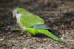 Monk parakeet (Myiopsitta monachus) Stock Photo