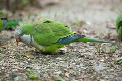 Monk parakeet (Myiopsitta monachus) Stock Photography