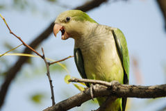 Monk parakeet Myiopsitta monachus in Aluche park, Madrid, Spain Stock Photo
