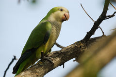 Monk parakeet Myiopsitta monachus in Aluche park, Madrid, Spain Royalty Free Stock Images