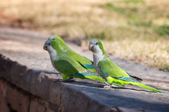 Monk Parakeet (Myiopsitta monachus) Stock Photo