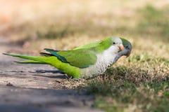 Monk Parakeet (Myiopsitta monachus) Stock Images
