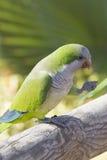 Monk Parakeet  (Myiopsitta monachus) Royalty Free Stock Image