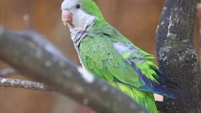 Monk Parakeet. (Myiopsitta Monachus) Perched on a Tree Branch stock video footage