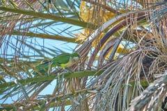 Monk Parakeet on a Phoenix Canariensis leaf stock photos
