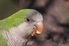 Monk Parakeet. Portrait of Wild Monk Parakeet. Barcelona - Spain Stock Photos