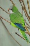 Monk parakeet Royalty Free Stock Image