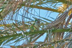 Monk Parakeet on a Phoenix Canariensis leaf royalty free stock image