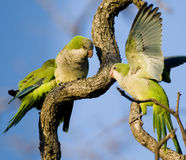 Monk Parakeets Royalty Free Stock Image