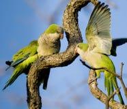 Monk Parakeets Royalty Free Stock Image