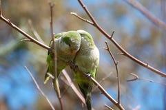 Monk Parakeets, Myiopsitta monachus stock photography