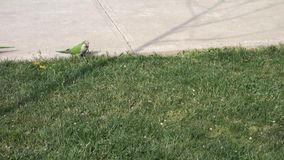 Monk Parakeets. Two monk parakeets, also known as quaker parrots, eating on the grass, until both of them leave the frame stock video