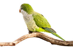 Monk parrot profiles its green feathers. In the sunlight; white background royalty free stock photos