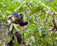 Monk Saki. A Monk Saki (Pithecia monachus) watches from the dense canopy of the peruvian amazon rainforest royalty free stock images