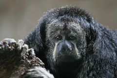 Monk Saki Monkey Stock Images