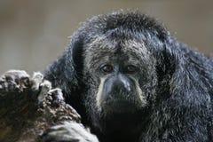 Monk Saki Monkey Stock Images