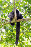 Monk Saki Monkey and Tail Stock Images