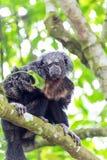 Monk Saki Monkey Stock Photo