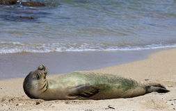 Monk Seal Stock Images