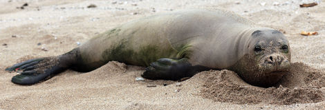Monk Seal Royalty Free Stock Images