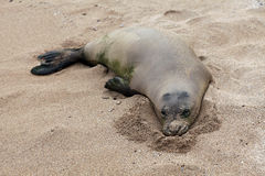 Monk Seal Royalty Free Stock Photos