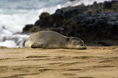 Monk Seal on beach of Kauai. Monk Seal lays in the sand on the Island of Kauai.  Rocky shoreline and waves fill the background Stock Photos