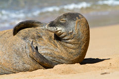 Monk Seal on Beach, Kauai, Hawaii Stock Photography