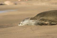 Monk Seal Close Up Royalty Free Stock Image