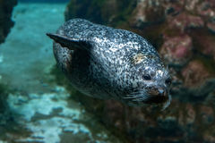 Monk seal coming to you. Underwater Royalty Free Stock Image