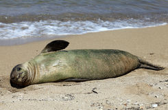 Monk Seal, Hawaii Stock Images