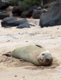 Monk Seal, Hawaii Royalty Free Stock Photo
