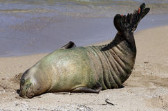 Monk Seal, Hawaii Royalty Free Stock Image