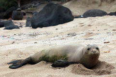 Monk Seal, Hawaii Royalty Free Stock Photography
