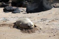 Monk Seal, Hawaii Stock Photo
