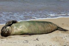 Monk Seal, Hawaii Royalty Free Stock Photos