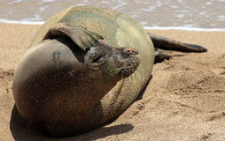 Monk Seal, Hawaii Stock Image